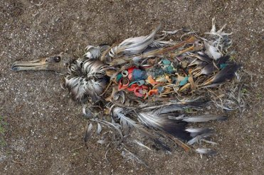 Midway-bird-corpse-2